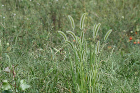 The Giant Foxtail is a  common weed native to China but now abundant to in fields and waste areas of Eastern Ontario.