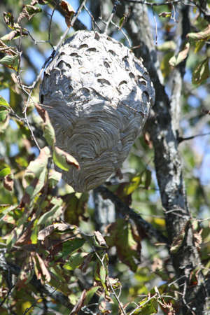 Large Hornets  nest, in a tree, about 20  off the ground, near freshly cut pine trees  photo