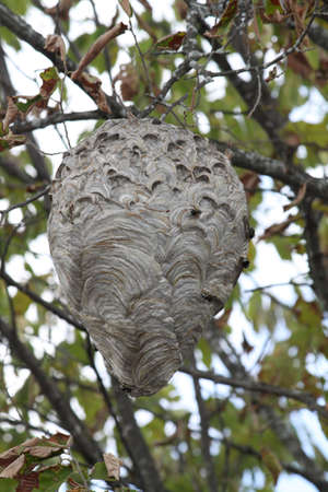 faced: Large Hornets   Bald-Faced  nest in a tree, about 20  off the ground, near freshly cut pine trees  Stock Photo