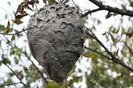 Large Hornets   Bald-Faced  nest in a tree, about 20  off the ground, near freshly cut pine trees  Stock Photo