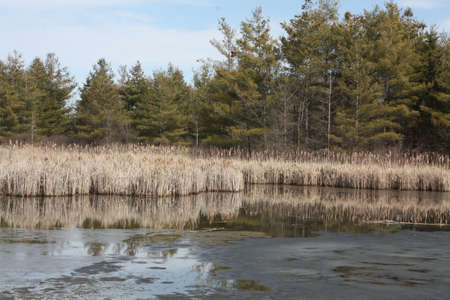 Cattails in early spring, in a marshy area of Eastern Ontario in early spring  Ice has just melted and water is flowing freely