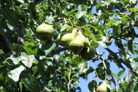 Green pears on a tree, almost ready for picking Stock Photo