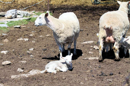 Ewes, with her young lambs, in a muddy area of a holding pen, on a small rural farm