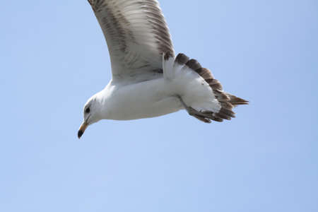 nuisance: Ring-Billed Gull soaring over a small populated park, against a blue sky