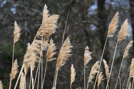 An invasive plant-grass Stock Photo