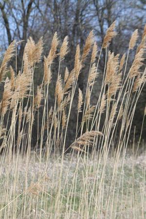 invasive: An invasive plant-grass Stock Photo