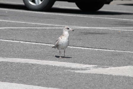 scavenging: Ring-Billed Gull  Juvenile , in a parking lot, scavenging for food Stock Photo