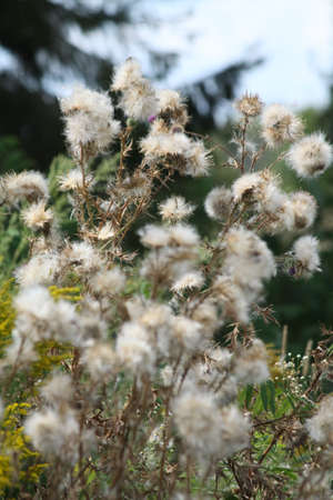 Bull Thistle gone to seed with fluffy seed heads  Native to Europe and Asia  photo