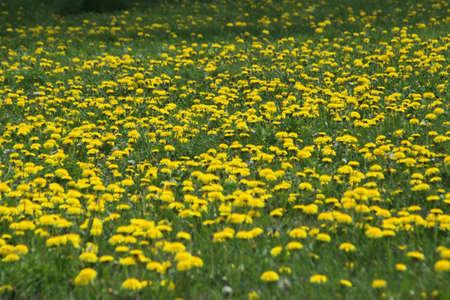 Yellow Dandelions occupy a small grassy field
