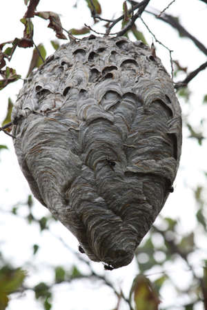 Large hornets nest in a tree, about 2o feet off the ground  photo