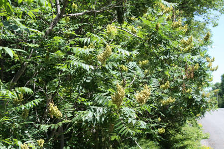 Male staghorn sumac flower at early stage of blooming. is a deciduous shrub to small tree Stock Photo