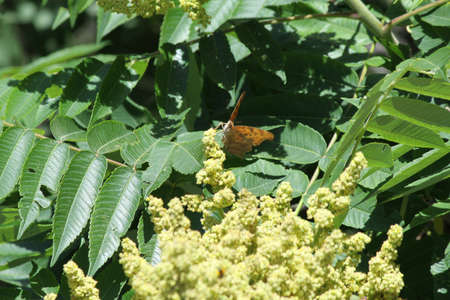 staghorn: Male staghorn sumac flower at early stage of blooming. is a deciduous shrub to small tree Stock Photo