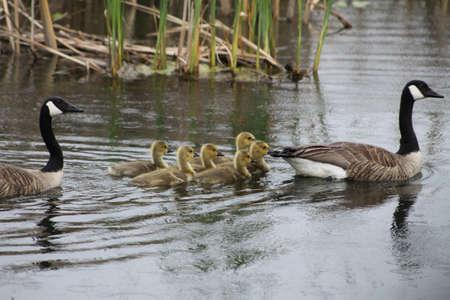 gosling: Canada Geese and Goslings in water