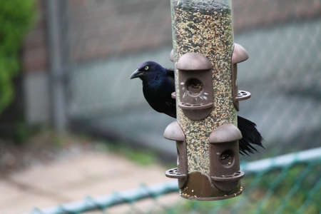 Common Grackle on a bird feeder   The Common Grackle has a long dark bill, pale yellowish eyes and a long tail; its plumage is an iridescent black, or purple on the head  Stock Photo - 17603699