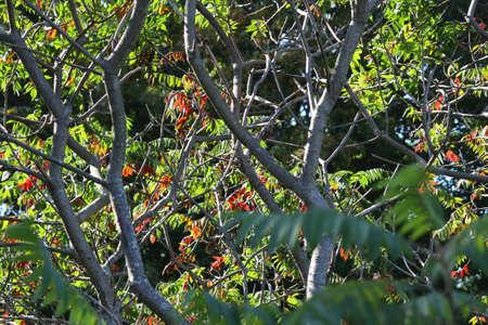 changing color: Staghorn sumac hojas cambiando de color en oto�o