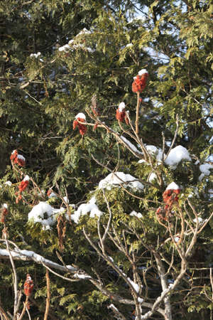 staghorn: Snow on the bob�s of a Staghorn Sumac