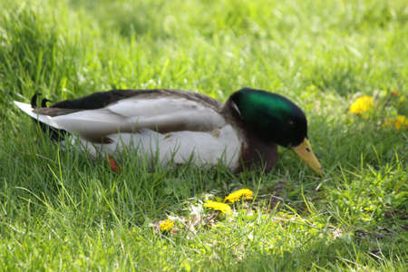 Mallard-Drake foraging in the deep grass in a city park Stock Photo - 17590171