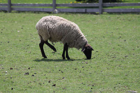 fenced in: Black Legged Sheep in a fenced in area of grass