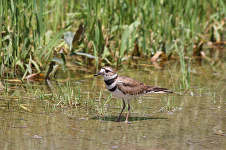 rains: Killdeer in a puddle of water at the side of a rural roadway left by recent rains  It is a medium-sized plover  They mainly eat insects