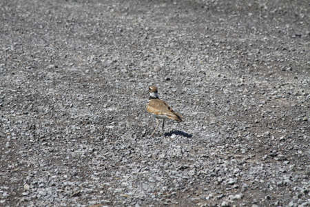 Killdeer at the side of a gravel rural roadway   It is a medium-sized plover  They mainly eat insects Stock Photo - 20410913
