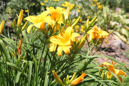 perennials: Daylilies are rugged, adaptable, vigorous perennials and comes in a variety of colors Stock Photo