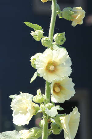 alcea: Alcea, commonly known as hollyhocks  They are native to Asia and Europe, they come in a variety of colours  Stock Photo