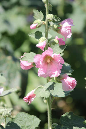 hollyhocks: Alcea, commonly known as hollyhocks  They are native to Asia and Europe, they come in a variety of colours  Stock Photo