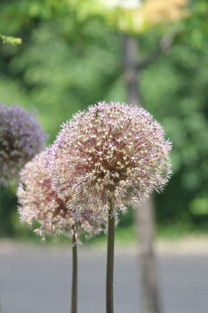 perennial: Allium is a pretty flowering plant  A hardy perennial