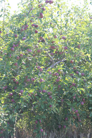 laden: Apple tree laden with apples not yet ready for picking Stock Photo