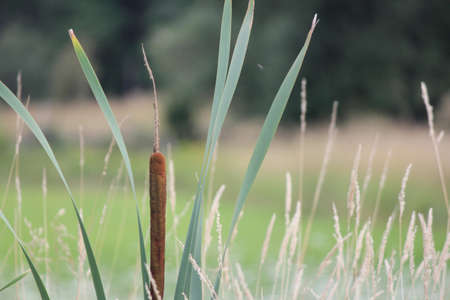 Catttail  Typha  are tall, stiff plant, growing almost ten feet tall  The flower has two parts; a brown cylinder  the female part , and a yellow spike  the male part   photo