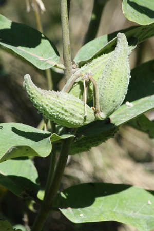 plant seed:  Milkweed plant and seed pods