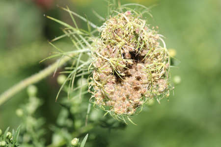 seeding: Queen Annes Lace closed and seeding at the end of summer
