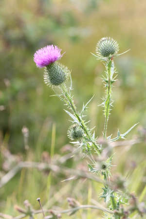 Bull Thistle is a prickly wildflower which most people consider an annoying weed