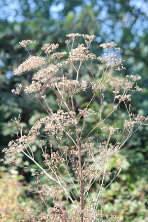 hemlock: Dried up and gone to seed  Poison Hemlock  is a public health hazard