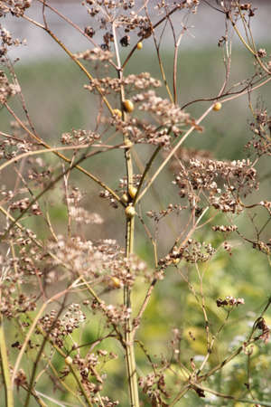 hemlock: Dried up and gone to seed  Poison Hemlock  is a public health hazard  Stock Photo
