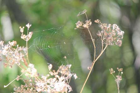 cicuta: Secado y vuelto a sembrar Poison Hemlock es un peligro para la salud p�blica