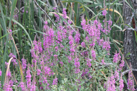 In Ontario, Canada Purple loosestrife is a highly invasive, wetland plant that invades wetlands, roadsides and disturbed areas that reduce nutrients and space for native plants Banco de Imagens - 22309972