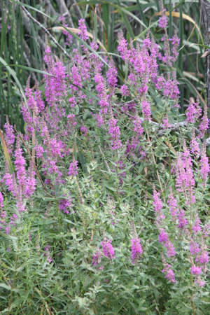 In Ontario, Canada Purple loosestrife is a highly invasive, wetland plant that invades wetlands, roadsides and disturbed areas that reduce nutrients and space for native plants  Banco de Imagens