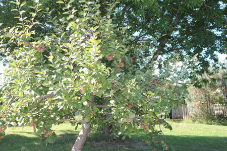 laden: Small apple tree laden with apples, ready for picking