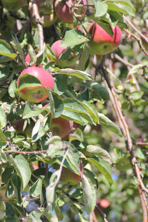 A cluster of red apples on a tree, ready for picking photo
