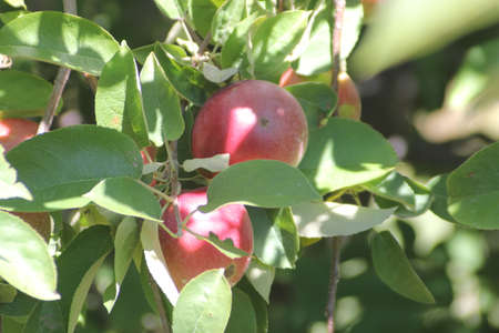 Apples on a branch of  an apple tree ready for picking  photo