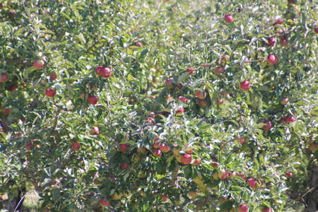 Branches of a small apple tree full of red apples ready for picking  photo