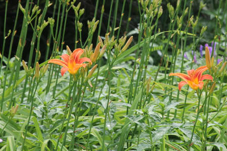 Orange daylily beside a country road  Daylilies are rugged, adaptable, vigorous perennials and comes in a variety of colors Stock Photo
