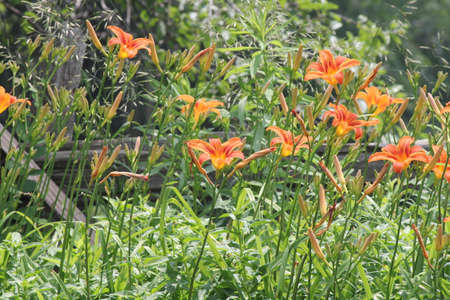 adaptable: Orange daylily beside a country road  Daylilies are rugged, adaptable, vigorous perennials and comes in a variety of colors Stock Photo