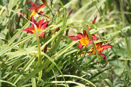 maybe: Pretty daylily, maybe a Rosie Meyer  found growing wild