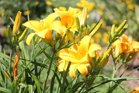 Daylilies are rugged, adaptable, vigorous perennials and comes in a variety of colors Reklamní fotografie