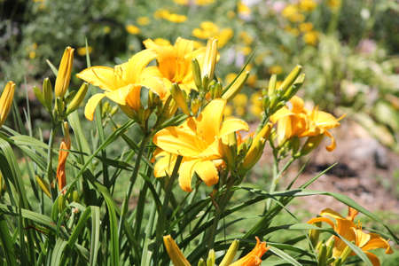 adaptable: Daylilies are rugged, adaptable, vigorous perennials and comes in a variety of colors Stock Photo