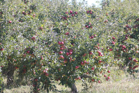 laden: Apple trees laden with nearly ripe apples almost ready for picking