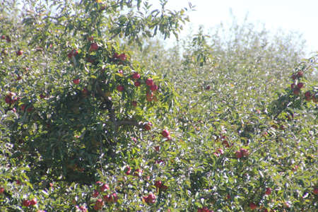 Apple trees laden with nearly ripe apples almost ready for picking Stock Photo - 23216213