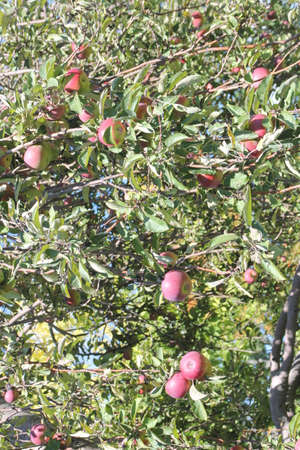 laden: Apple tree laden with nearly ripe apples almost ready for picking
